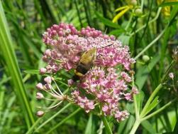 Sphinx Moth on Swamp Milkweed by My Pond