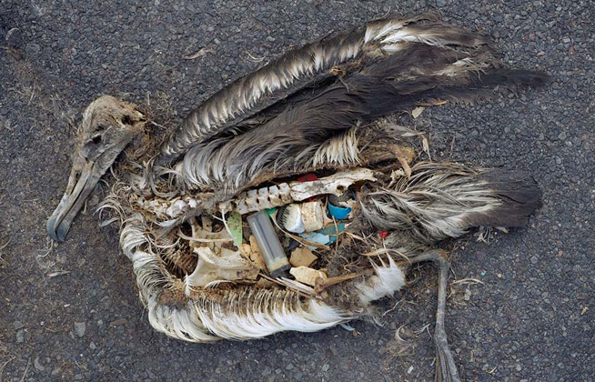 pacific_ocean_garbage_patch_pollution_plastic_albatross_chick_q_48866.jpg