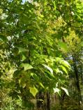 Catalpa tree and leaves [widespread but not native to our region] [Click here to view full size picture]