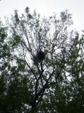 Heron nest very high in the trees [Click here to view full size picture]